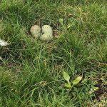 Eerste wulpennest gevonden in Rouveen