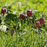 Record aantal kievietsbloemen in Groote Buitenlanden